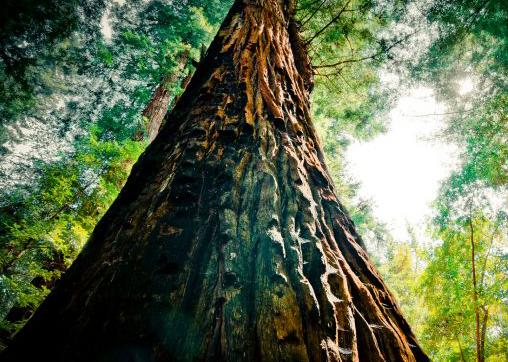 sequoia rec
